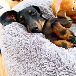 dachshund puppies for sale california