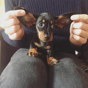 dachshund puppies for sale texas