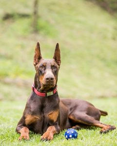 doberman puppies for sale california