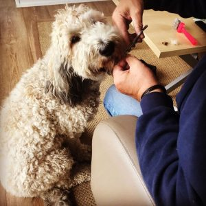 dog grooming clippers for labradoodles