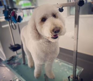 dog hair clippers for labradoodles