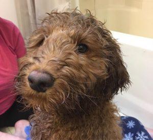 dog shampoo for labradoodle