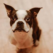 Boston Terriers of Texas