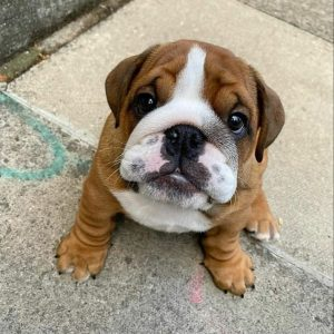 english bulldog puppies in texas