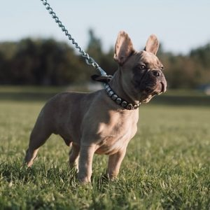 french bulldog puppies for sale texas