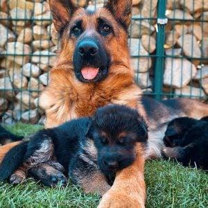 german shepherd puppies for sale texas
