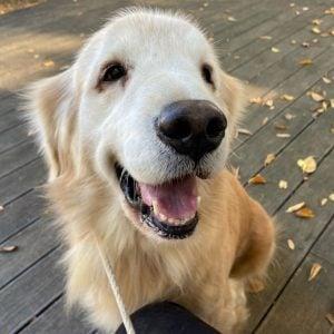 golden retriever adoption ohio