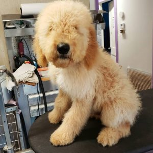 goldendoodle clippers