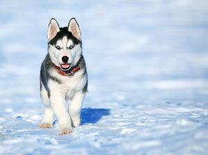 husky inside in ground dog fence