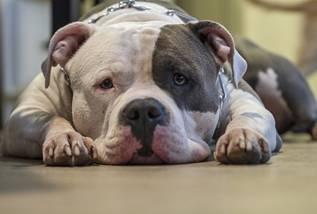 dog food for pitbull breeds