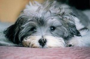 Havanese puppies for sale Texas