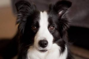 JB Border Collies
