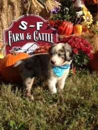 S & F Australian Shepherds Texas
