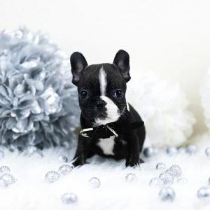 French Bulldog USA