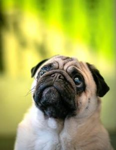 COMMON QUESTIONS ABOUT PUGS