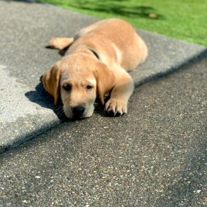 labrador puppies for sale in southern california