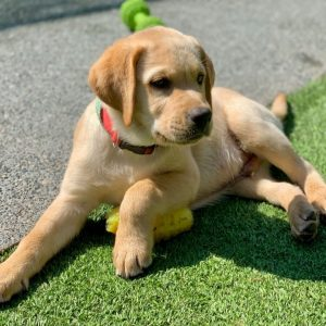 labradors for sale in southern california