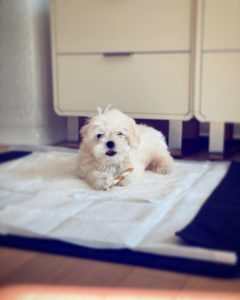 maltese puppies for sale texas