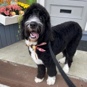 medium bernedoodle size
