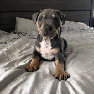 pitbull puppies for sale in california