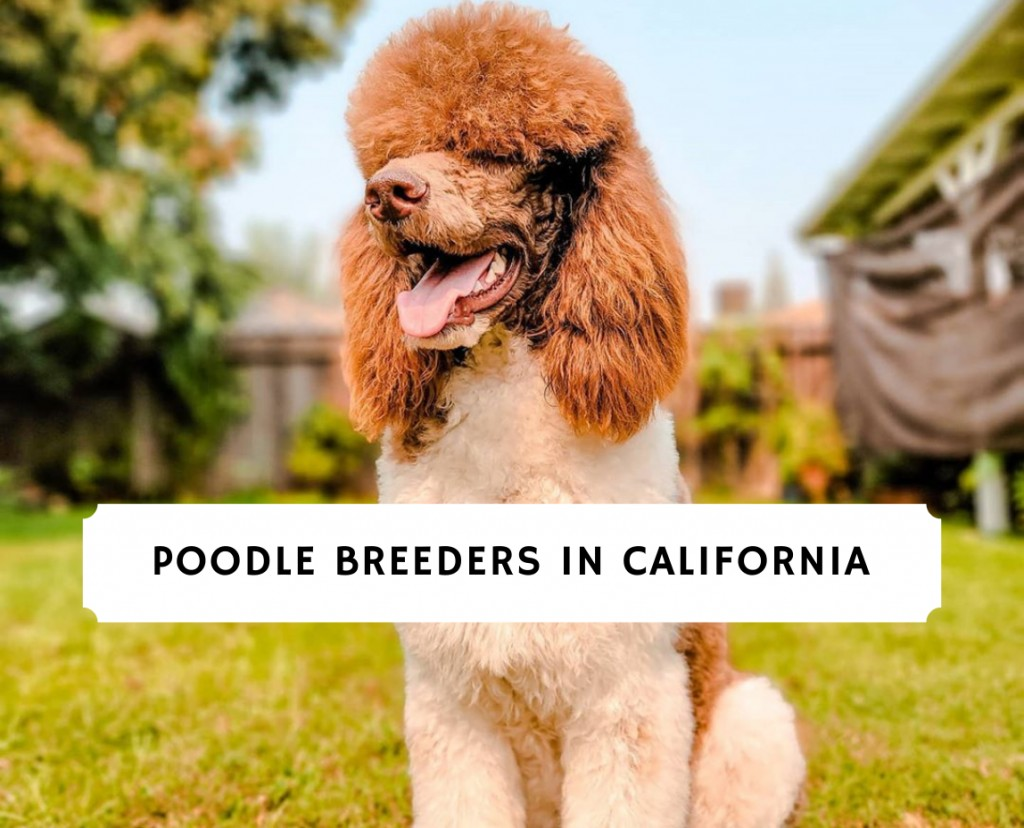 poodle breeders in california