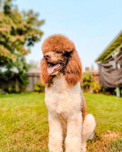 poodle puppies for sale in california