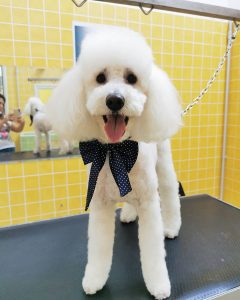 professional dog clippers for poodles