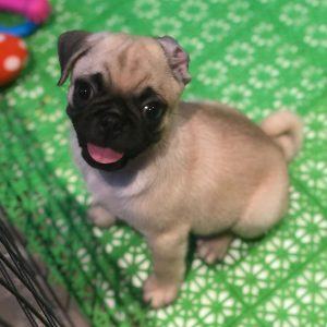 pug puppies for sale in california