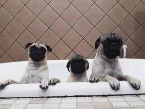 pug puppies for sale texas
