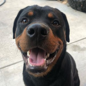 rottweiler puppies for sale in california