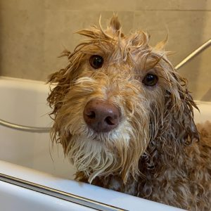 shampoo for labradoodle puppy