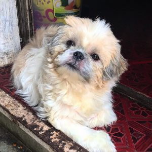 shih tzu puppies for sale texas