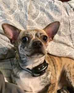 spray bark collar for small dogs