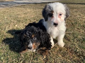 windy acres puppies