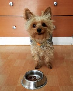 yorkie puppy eating dry dog food