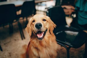 6 THINGS YOU NEED TO KNOW BEFORE ADOPTING A GOLDEN RETRIEVER