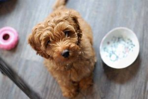 A Proper Diet for a Labradoodle