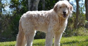 Aging Signs to Look For in a Labradoodle