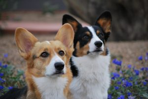 Arizona Cactus Corgi Rescue