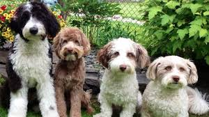 Aussiedoodle vs Goldendoodle Grooming: How Much do They Require?