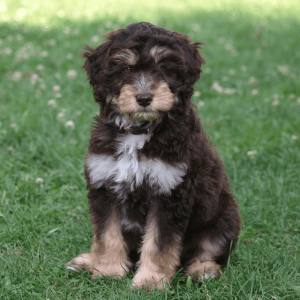 Aussiedoodle vs Goldendoodle Temperament: How do they behave?