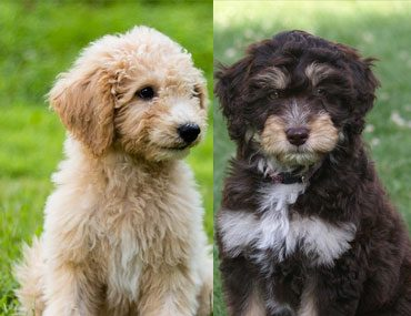 Aussiedoodle and Goldendoodle