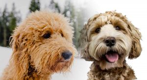 Australian Labradoodle Vs. Goldendoodle Appearance: What Do They Look Like?