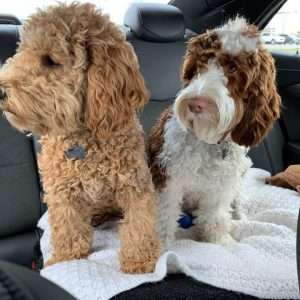 Australian Labradoodle Vs. Goldendoodle Training: Can They Be Easily Trained?