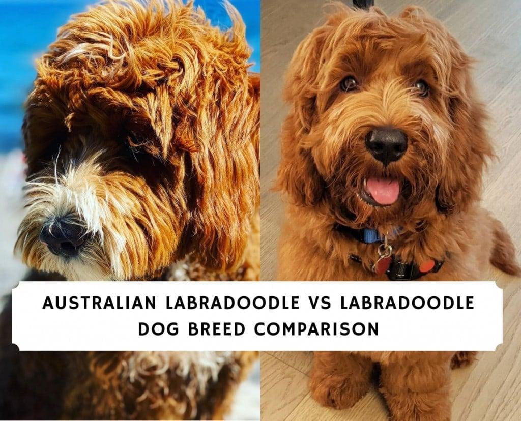 Australian Labradoodle vs LabradoodlE