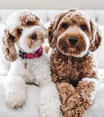 Australian Labradoodle and Labradoodle