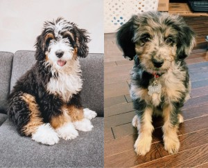 Bernedoodle or Aussiedoodle