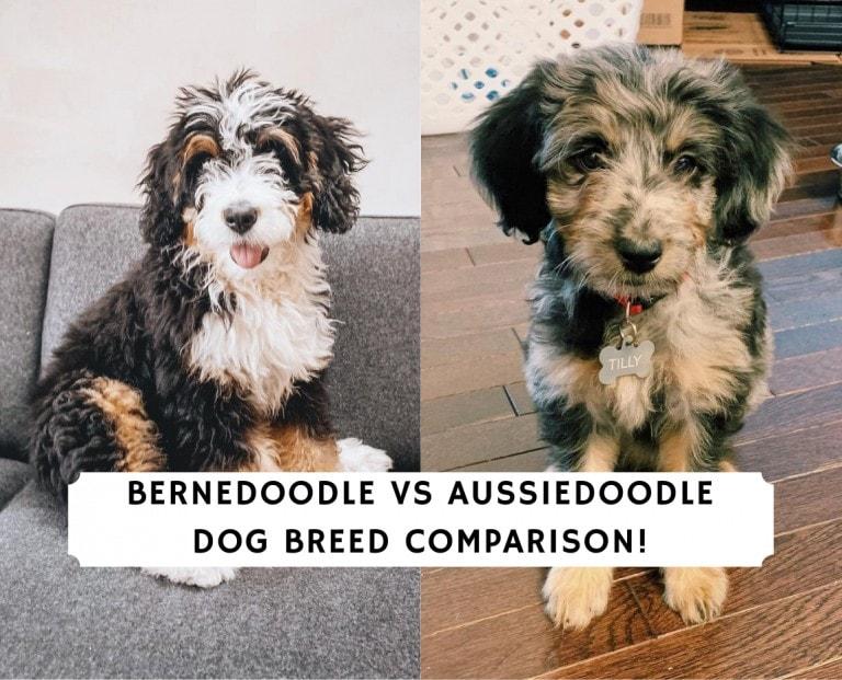 Bernedoodle vs Aussiedoodle