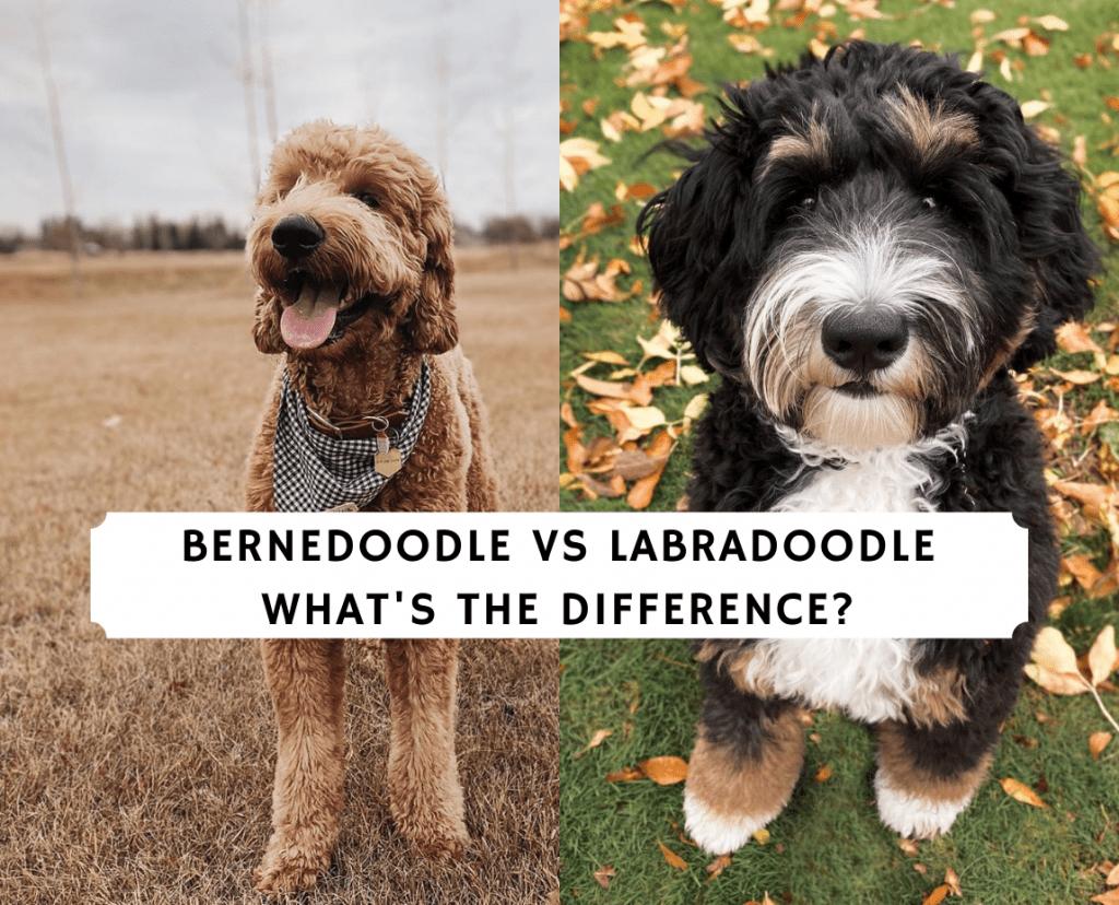 Bernedoodle vs Labradoodle