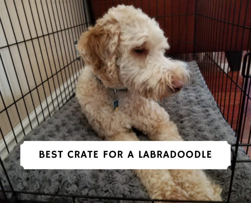 Best Crate for a Labradoodle